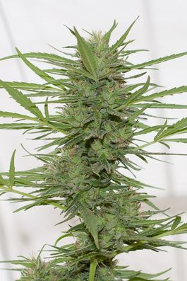Dr Greenthumb´s DedoVerde Haze Auto (Pack 3 semillas)